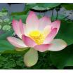 Indijos lotosų ataras