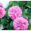 Rose attar