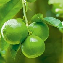 Žaliųjų citrinų eterinis aliejus