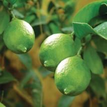 Žaliųjų citrinų (laimų) eterinis aliejus